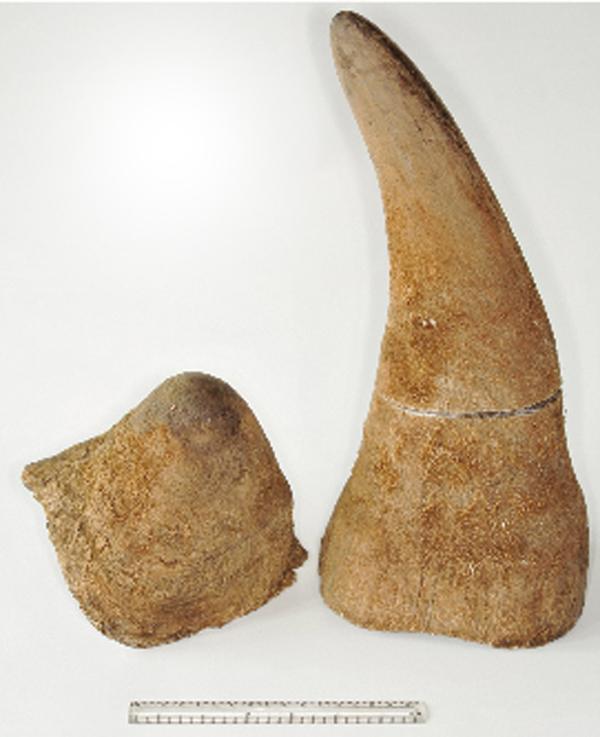 Rogi nosorożca białego. Mniejszy z płata czołowego, większy z kości nosowej.